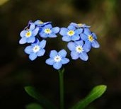 Forget Me Not Floral Design